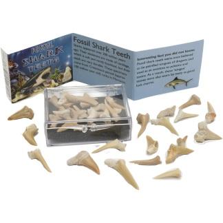 Fossil sharks teeth box