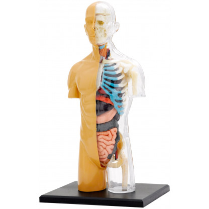 Human Body Anatomy kit model