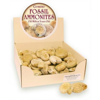 Fossil Ammonite display box