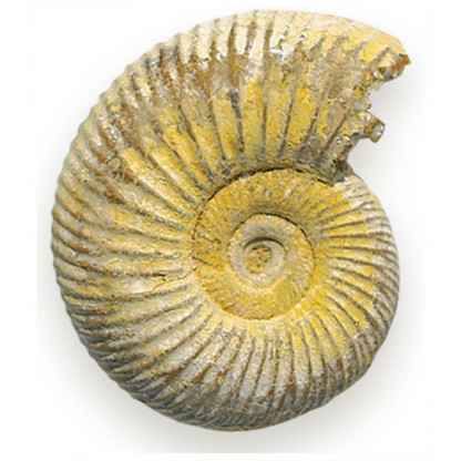 Fossil Ammonite