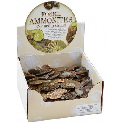 Polished Ammonite display