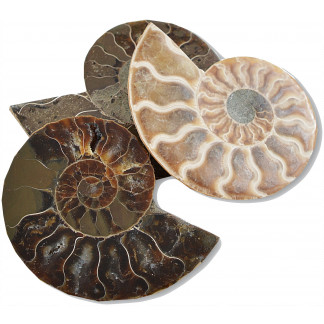 Polished ammonite