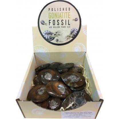 Goniatite fossil display box