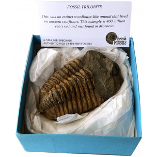 Boxed trilobite fossil
