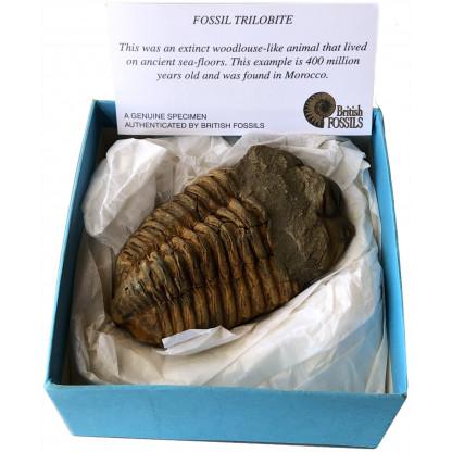 Boxed trilobite fossil