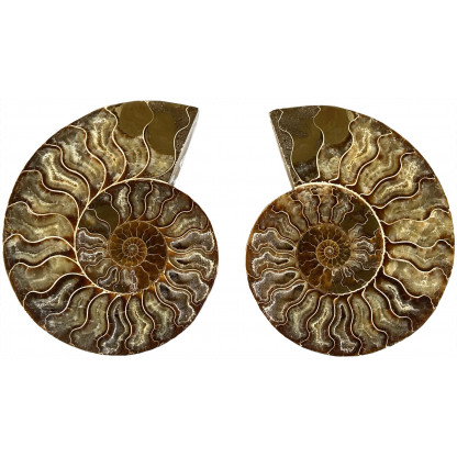 Ammonite Pair B