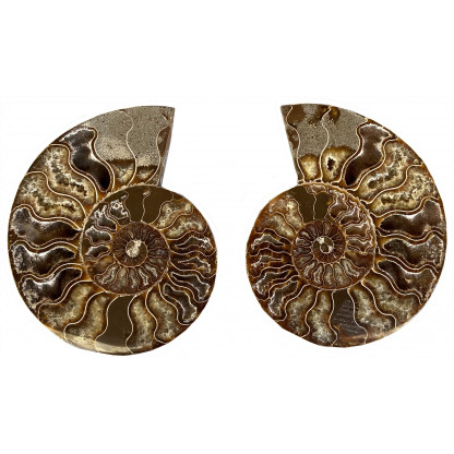 Ammonite Pair E