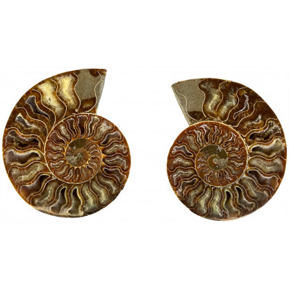 Ammonite Pair F