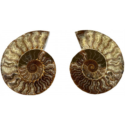 3206H scaled Polished Ammonite pair. Approx: 16 cm wide x 13 cm high. Average weight 850 g.